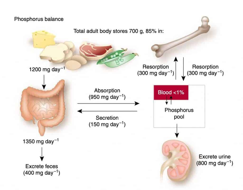 Phosphorous regulation and Kidneys