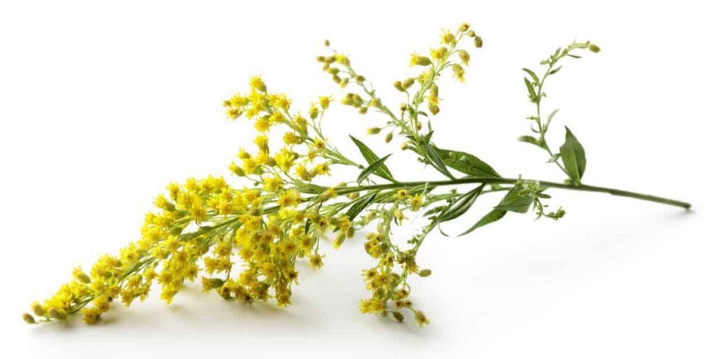 Flowers: Goldenrod Isolated on White Background