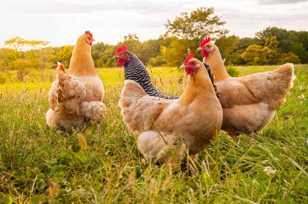 chicken and CKD, chicken safe to eat in CKD
