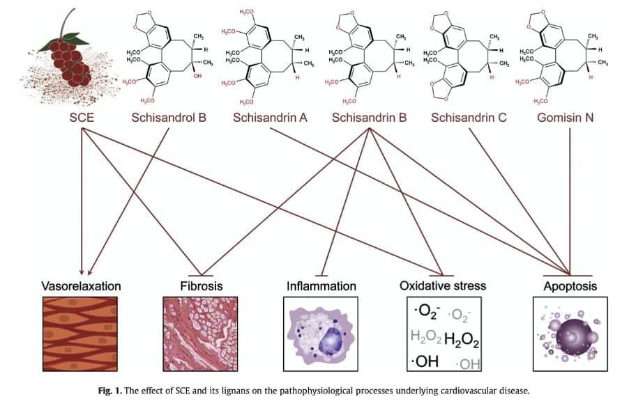 Affects of Schisandra in cardiovascular disease, shcisandra renal function, Schisandra CKD